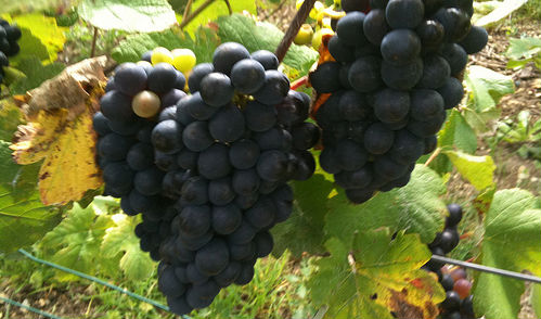 pinot meunier grapes